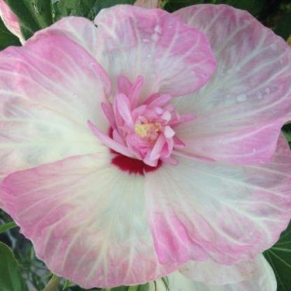 hibiscus Mother's heart
