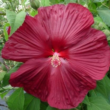hibiscus Saxon