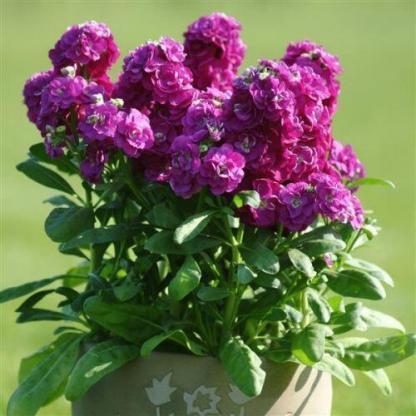 Matthiola 'Hot Cakes Purple' - nyári viola