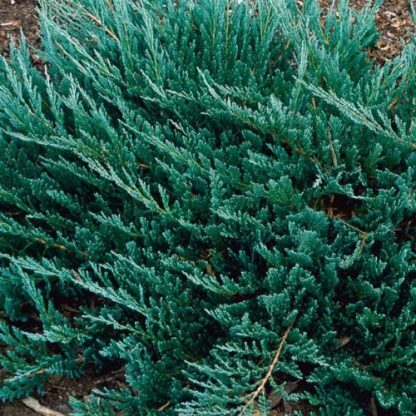 juniperus-horizontalis-blue-chip-boróka