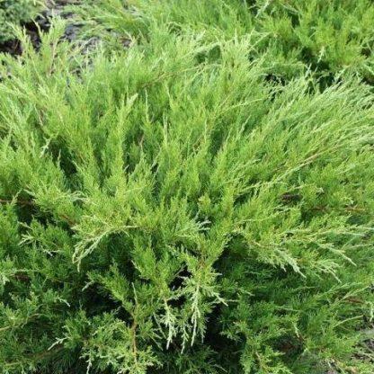 juniperus-pfizteriana-mint-julep-kúszóboróka