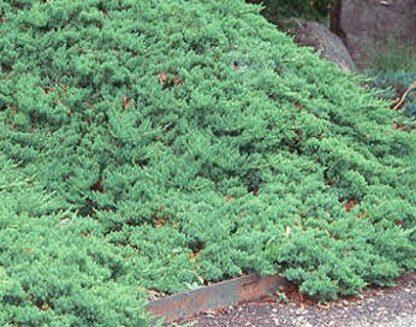 juniperus-procumberns-nana-kúszó-boróka