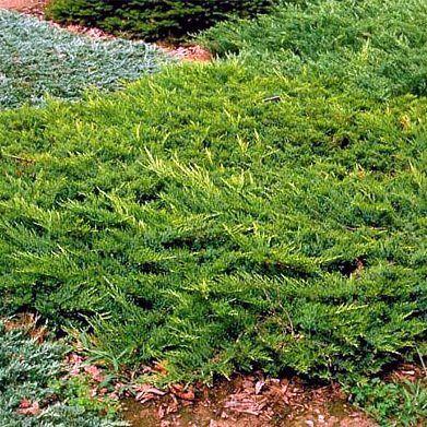 juniperus-sabina-broadmoor-nehézszagú-boróka