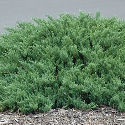 juniperus-sabina-tamariscifolia-nehézszagú-boróka