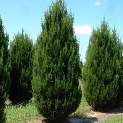 juniperus-schinensis-spartan-boróka