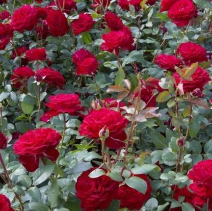 Marlene élénk piros teahibrid rózsa