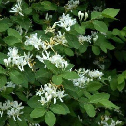lonicera-xylosteum-ükörke-lonc-virág