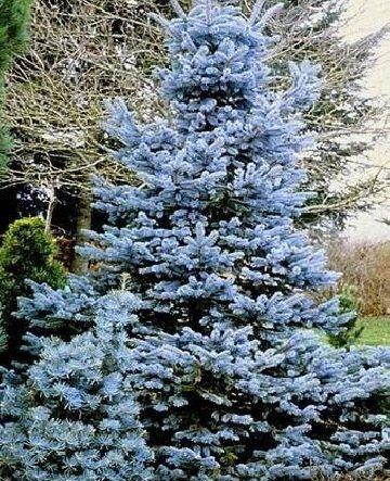 picea-pungens-glauca-misty-blue-ezüstfenyő