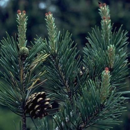 pinus sylvestris erdei fenyő tűlevele