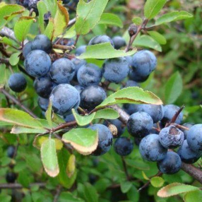 Prunus-spinosa kökény cserje termése