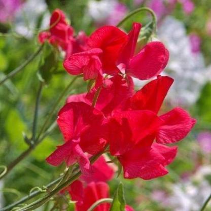 Lathyrus odoratus 'Royal Scarlet' - szagos bükköny