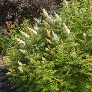 sorbaria-sorbifolia-tollas-gyöngyvessző-bokor