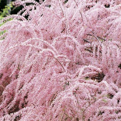 Tamarix tetranda tamariska bokor virága