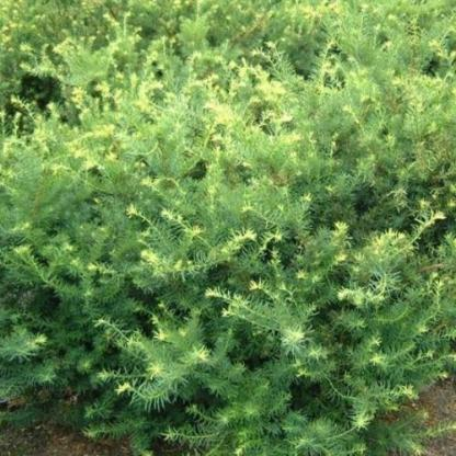 taxus-media-farmen tiszfa