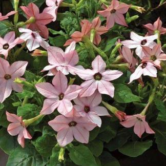 A Nicotiana saratoga 'Appleblossom' halvány rózsaszín díszdohány