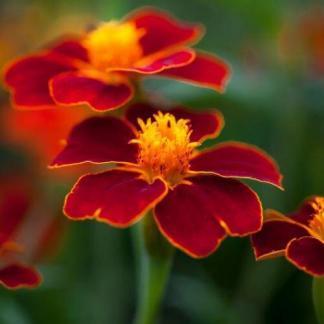 A Tagetes patula linnaeus 'Burning Embers' élénk piros színű, apró virágú bársonyvirág (büdöske)