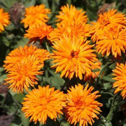 A Calendula officinalis 'Calexis Orange' - narancssárga körömvirágnak különleges, hegyes szirmai vannak