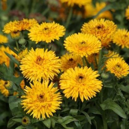 A Calendula officinalis 'Calexis Yellow' - sárga körömvirágnak különleges, hegyes szirmai vannak