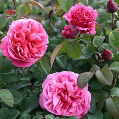 Line Renaud rózsaszín, illatos teahibrid rózsa