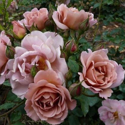 Lavender Pinocchio – floribunda ágyás rózsa 1 Barna/levendula árnyalatú, rendkívül különleges és mutatós floribunda ágyásrózsa <em>Kiszerelés: szabadgyökerű, A minőség</em>