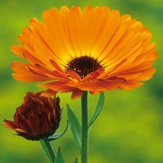 A Calendula officinalis 'Prince Indian' - narancssárga körömvirágnak kontrasztos, sötét belseje van