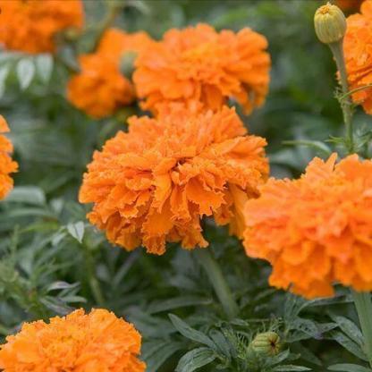 A Tagetes erecta 'Kees' Orange' narancssárga, nagyvirágú bársonyvirág (büdöske)