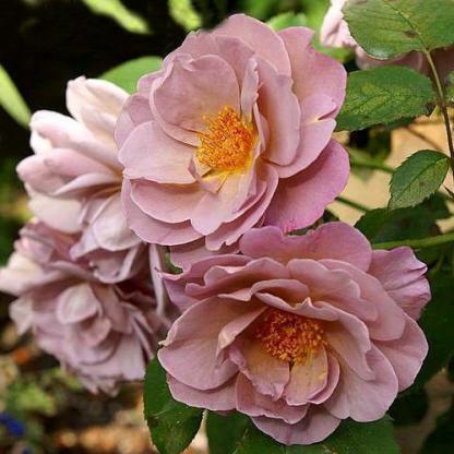 Lavender Pinocchio barna floribunda rózsa