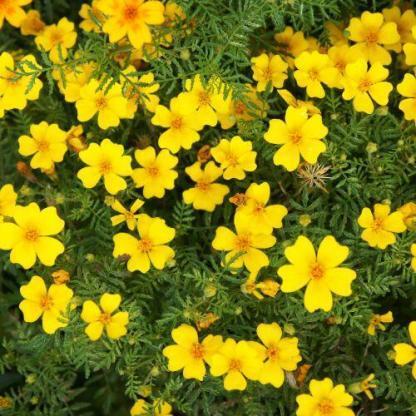 Tagetes 'Lulu' - apró virágú bársonyvirág (büdöske)