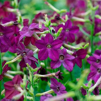 A Nicotiana 'Perfume Deep Purple' - lila díszdohány bőségesen virágzó fajta