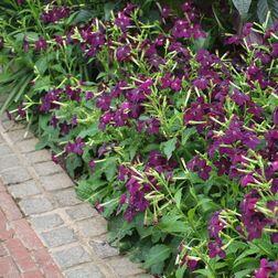 A Nicotiana 'Perfume Deep Purple' - lila díszdohány szegélynövényként is jól mutat