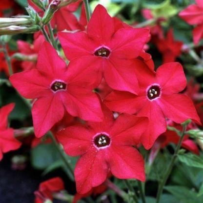 A Nicotiana 'Perfume Red' - piros díszdohánynak élénk, csillag alakú virágai igen látványosak