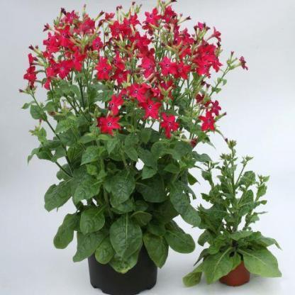 A Nicotiana 'Perfume Red' - piros díszdohány jól mutat cserépbe ültetve is