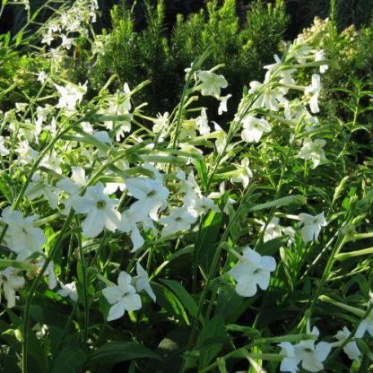 A Nicotiana 'Perfume White' - fehér díszdohány jól mutat virágágyásban, más dísznövényekkel együtt ültetve