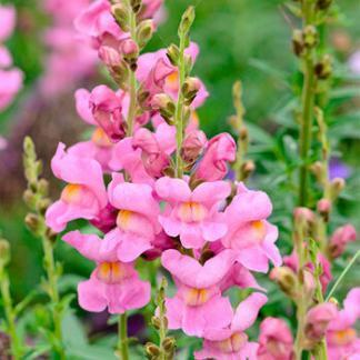 Az Antirrhinum 'Rocket Orchid' - magas tátika rózsaszín virága