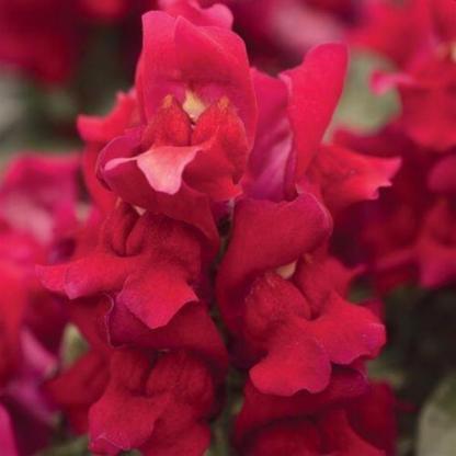 Az Antirrhinum 'Snapshot Red' - törpe tátika piros virága