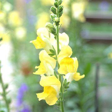 Az Antirrhinum 'Solstice Yellow' - tátika sárga virágja