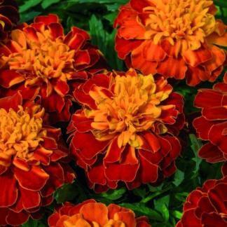 Tagetes patula 'Super Hero Harmony' - nagyvirágú bársonyvirág (büdöske)