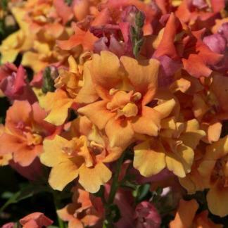 A meleg színek vidám kavalkádja jellemzi az Antirrhinum majus 'Twinny Bronze Shades' - duplavirágú tátikát