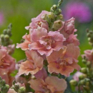 Az Antirrhinum majus 'Twinny Peach' tátika virágai rózsaszín és narancssárga színárnyalatokban pompáznak