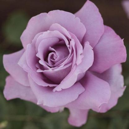 Charles de Gaulles lila teahibrid rózsa