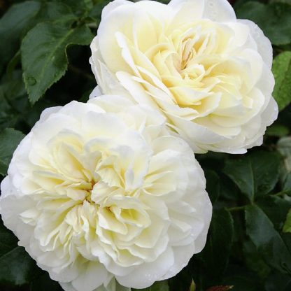 Lady Romantica - krémfehér ágyás rózsa