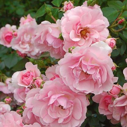 Bonica - rózsaszín bokorrózsa