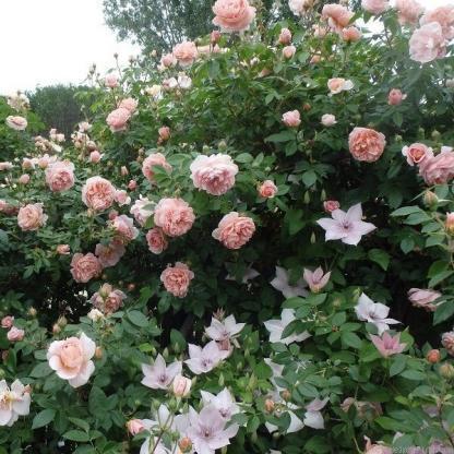 Colette - barackszínű futórózsa 2 Halvány barackszínű alacsonyabb futórózsa, bőséges virágzással. <em>Kiszerelés: szabadgyökerű, A minőség</em>