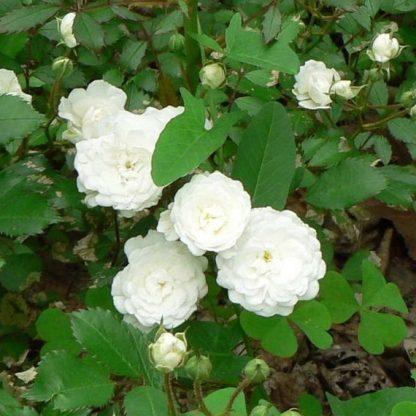 Alba Meidiland - fehér bokorrózsa 1 Dúsan és folyamatosan virágzó fehér bokorrózsa. <em>Kiszerelés: szabadgyökerű, A minőség</em>