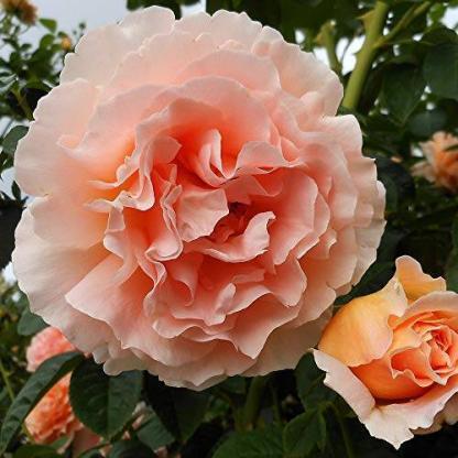 Polka - barackszínű futórózsa 1 Látványos barackszínű futórózsa, bőséges virágzással. <em>Kiszerelés: szabadgyökerű, A minőség</em>