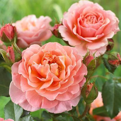 Marie Curie - bokorrózsa 1 Dúsan és folyamatosan virágzó narancssárga/rózsaszín bokorrózsa. <em>Kiszerelés: szabadgyökerű, A minőség</em>