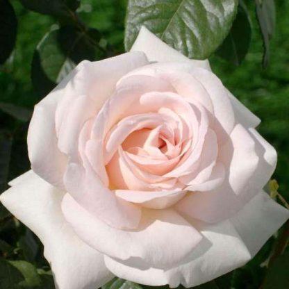 Prince Jardinier - rózsaszín teahibrid rózsa