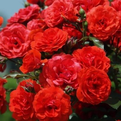 La Sevillana - piros ágyás rózsa