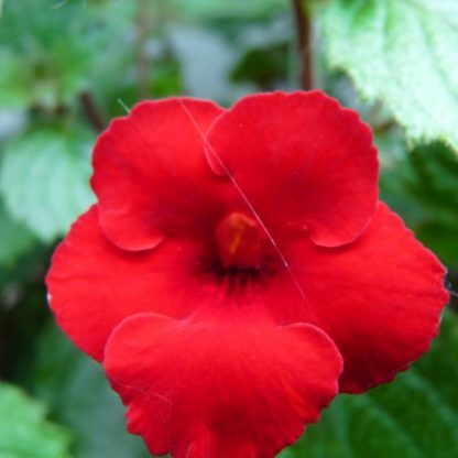 Achimenes - Coccinelle-mesevirág