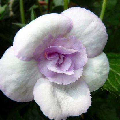 Achimenes- Lavender Bliss-mesevirág